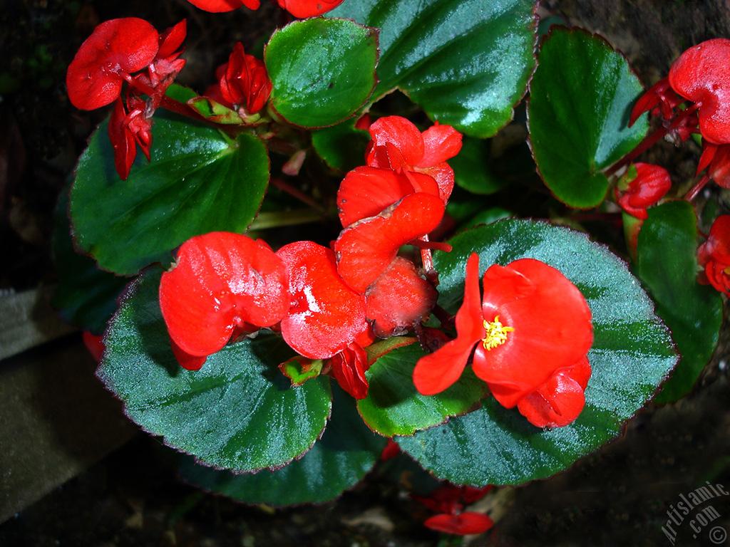 Kırmızı çiçekli Yeşil Yapraklı Yalınkat Açan Begonya çiçeği Resmi