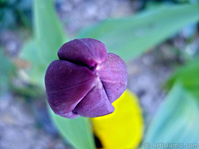 Purple color Turkish-Ottoman Tulip photo.